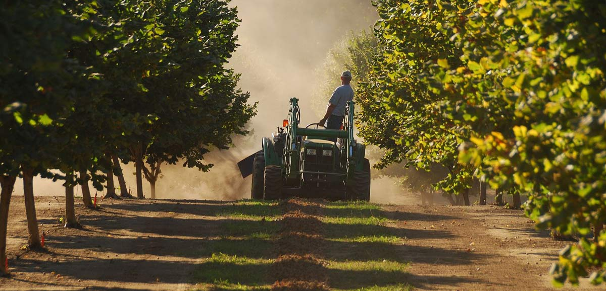 Tractor in hazelnut orchard