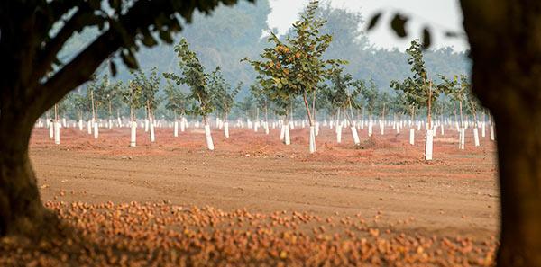 Hazelnuts on orchard floor